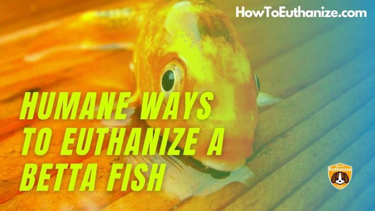 Best, Easy And Humane Ways To Euthanize A Betta Fish!!